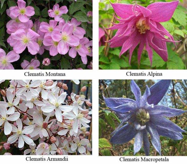 clematis-varieties